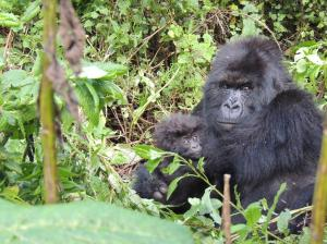 One Day Gorilla Tracking