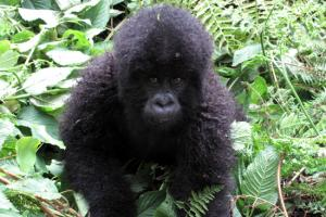 Mountain Gorilla Trekking in Volcanoes National Park