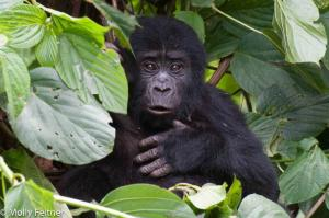 Visiting The Congolese Gorillas In Virunga National Park Tour Packages