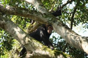 Chimp in Tongo Forest of DR Congo