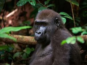 Gorillas  of D.R Congo