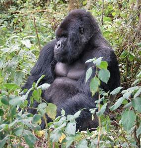 Mountain Gorillas in Volcanoes National Park of Rwanda