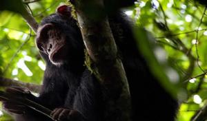 Primate Nyungwe Chimps Safaris Tour
