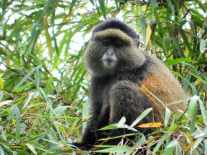 Rwanda Mountain Gorilla And Golden Monkey Tracking