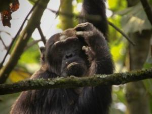 Chimpanzees & Gorilla Primate Holiday In Rwanda