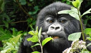 Up close with Rwanda's endangered mountain gorillas
