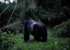 Mountain Gorilla & Chimpanzees Cycling Congo-nile Trail